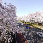 JR国立駅前・大学通りに満開の桜並木