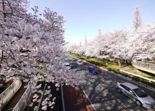 国立駅大学通りの桜
